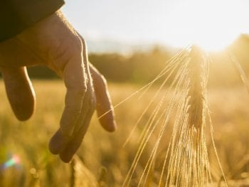 Permanent Life Insurance or Farm Insurance: Man touching an ear of wheat at sunrise